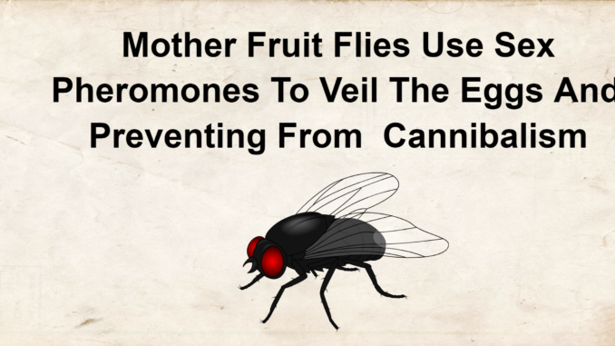 Mother Fruit Flies Use Sex Pheromones To Veil The Eggs And